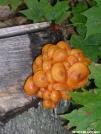 Orange Fungus by Cookerhiker in Flowers