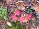 Red maple leaves by Cookerhiker in Trail & Blazes in Virginia & West Virginia
