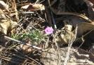 Pink blossom in December
