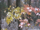 Snow-covered maple leaves by Cookerhiker in Trail & Blazes in Virginia & West Virginia