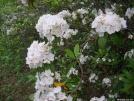 Mountain laurel in bloom by Cookerhiker in Flowers