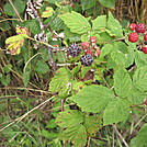 Ripening Black Raspberries by Cookerhiker in Flowers