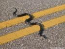 Blacksnake crosses Skyline Drive by Cookerhiker in Snakes