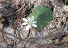 Bloodroot In Smokies by Cookerhiker in Flowers