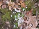Bluets by Cookerhiker in Flowers