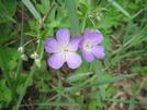 Wild Geranium On Allegheny Trail by Cookerhiker in Flowers