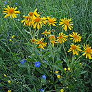 Colorado Trail - Blue Flax and Orange Sneezeweed
