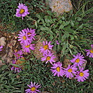Colorado Trail - Pinnate-leafed Daisies