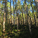 Colorado Trail - early morning aspen forest by Cookerhiker in Colorado Trail