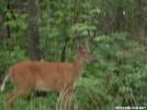 Deer with Antlers by Cookerhiker in Deer