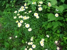 Daisies Besides The Trail by Cookerhiker in Flowers
