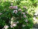 Mountain Laurel by Cookerhiker in Flowers