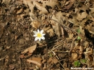 Solitary Bloodroot by Cookerhiker in Flowers