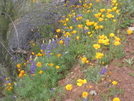 Arizona Trail - Lupines & Poppies by Cookerhiker in Other Trails