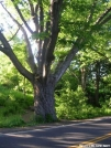 Dover Oak by Cookerhiker in Views in New Jersey & New York