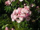 Pink Clusters Of Mountain Laurel, Dolly Sods Wilderness by Cookerhiker in Flowers