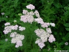 Yarrow by Cookerhiker in Flowers