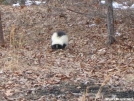 Skunk by Cookerhiker in Other