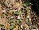 Spring Beauties by Cookerhiker in Flowers