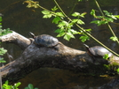 Turtles Along C&O Canal