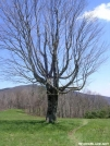 Tree with Unaka in background by Cookerhiker in Trail & Blazes in North Carolina & Tennessee