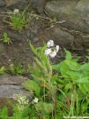 White Flowers atop Big Bald by Cookerhiker in Flowers