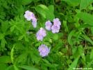 Wild Geranium by Cookerhiker in Flowers