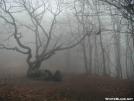 Old Oak Tree in the Fog