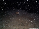 fox in snowstorm