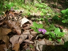 Fringed Polygala In Ct by alysheba in Flowers