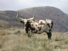 Longhorn Cattle on Hump Mountain by cabeza de vaca in Views in North Carolina & Tennessee