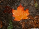 Maple leaf on trail - VT