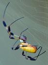 Golden Silk Spider by Phreak in Other Galleries