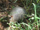 Armadillo by Phreak in Other Galleries