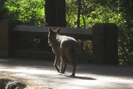 Coyote in Yosemite by Phreak in Other Trails