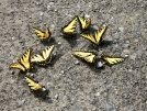 Tiger Swallowtails by Turtle2 in Other