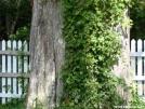 Big Cypress in my backyard