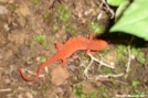 Orange Salamander by Baby Blue in Other