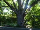 One Huge Tree by Blissful in Special Points of Interest