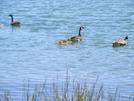 Ducks On Watauga Lake
