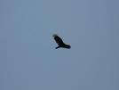 Turkey Vultures by Undershaft in Birds