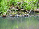 Turtles In The C & O Canal