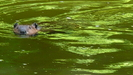 Beaver In The Housatonic River by Undershaft in Other