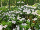 Miles of flourishing mountain laurel in full bloom in NY's Harriman State Park.