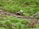 Skunk near RPH Shelter, NY by refreeman in Other