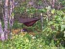 Hammock Campsite on Springer by Ratbert in Hammock camping