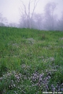 Prostrate Bluets & Fog - Bob's Bald, NC by Ratbert in Flowers