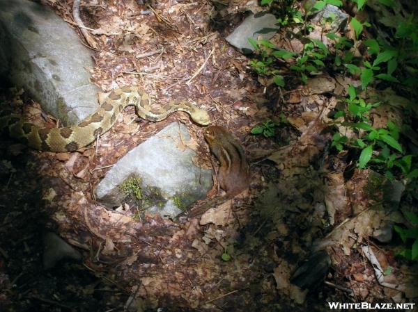 Rattlesnake v. Chipmunk