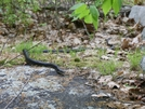 Rat Snake In Ny by vipahman in Snakes