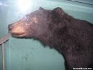 black bear by Jaybird in Bears